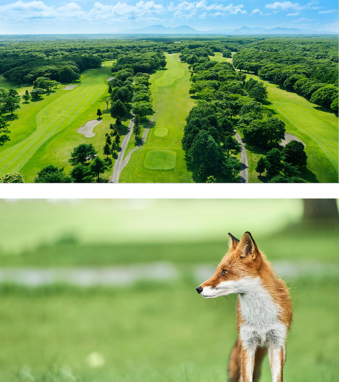 Golf Resort Picture,  Ezo red fox Picture
